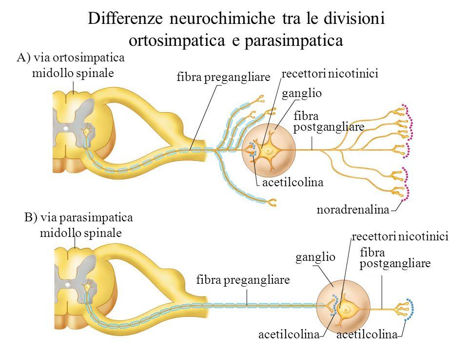 La sezione parasimpatica Uscita craniale –Proviene dal cervello –Innerva gli organi della testa, collo, torace, e addome Le fibre pregangliari corrono attraverso: –Il nervo oculomotore (III) –Il nervo facciale (VII) –Il nervo glossofaringeo (IX) –Il nervo vago (X) I corpi cellulari dei neuroni pregangliari sono localizzati nei nuclei dei nervi cranici del tronco encefalico