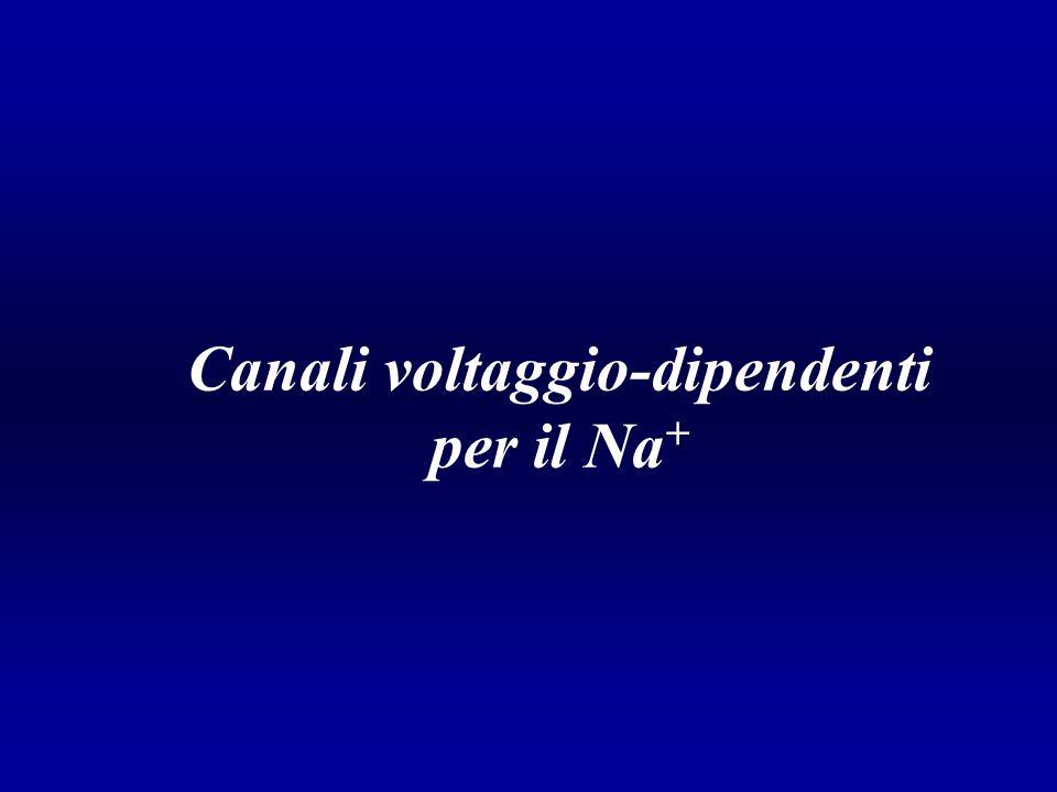 Canali voltaggio-dipendenti per il Na +