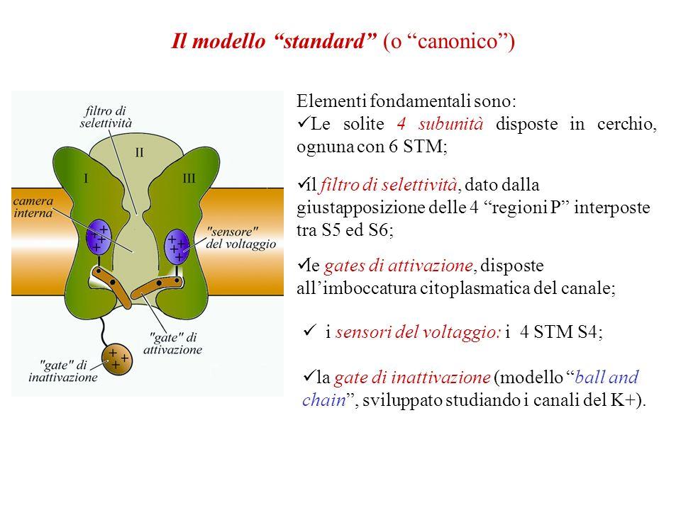 Il modello standard (o canonico) Elementi fondamentali sono: Le solite 4 subunità disposte in cerchio, ognuna con 6 STM; il filtro di selettività, dato dalla giustapposizione delle 4 regioni P interposte tra S5 ed S6; le gates di attivazione, disposte allimboccatura citoplasmatica del canale; i sensori del voltaggio: i 4 STM S4; la gate di inattivazione (modello ball and chain, sviluppato studiando i canali del K+).