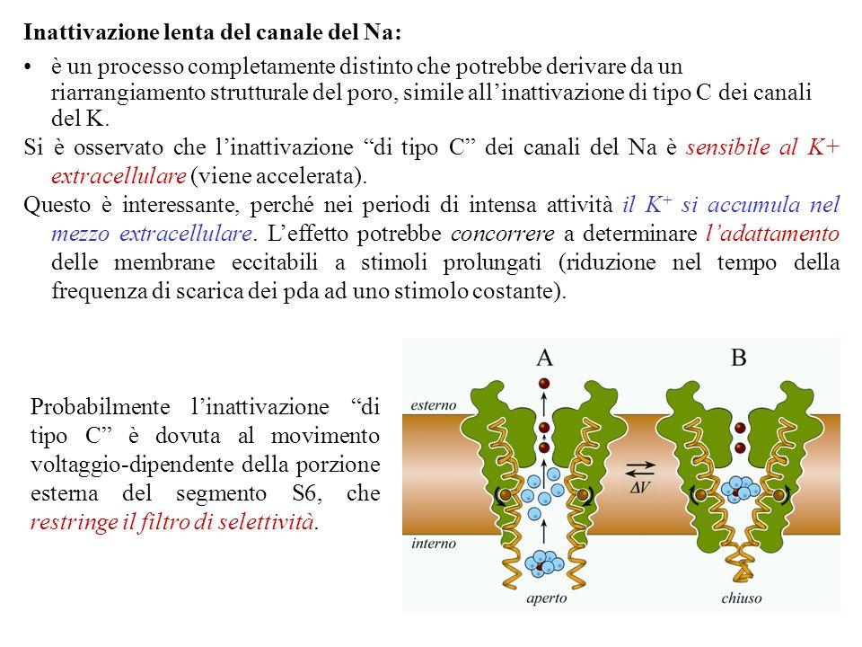Inattivazione lenta del canale del Na: è un processo completamente distinto che potrebbe derivare da un riarrangiamento strutturale del poro, simile allinattivazione di tipo C dei canali del K.