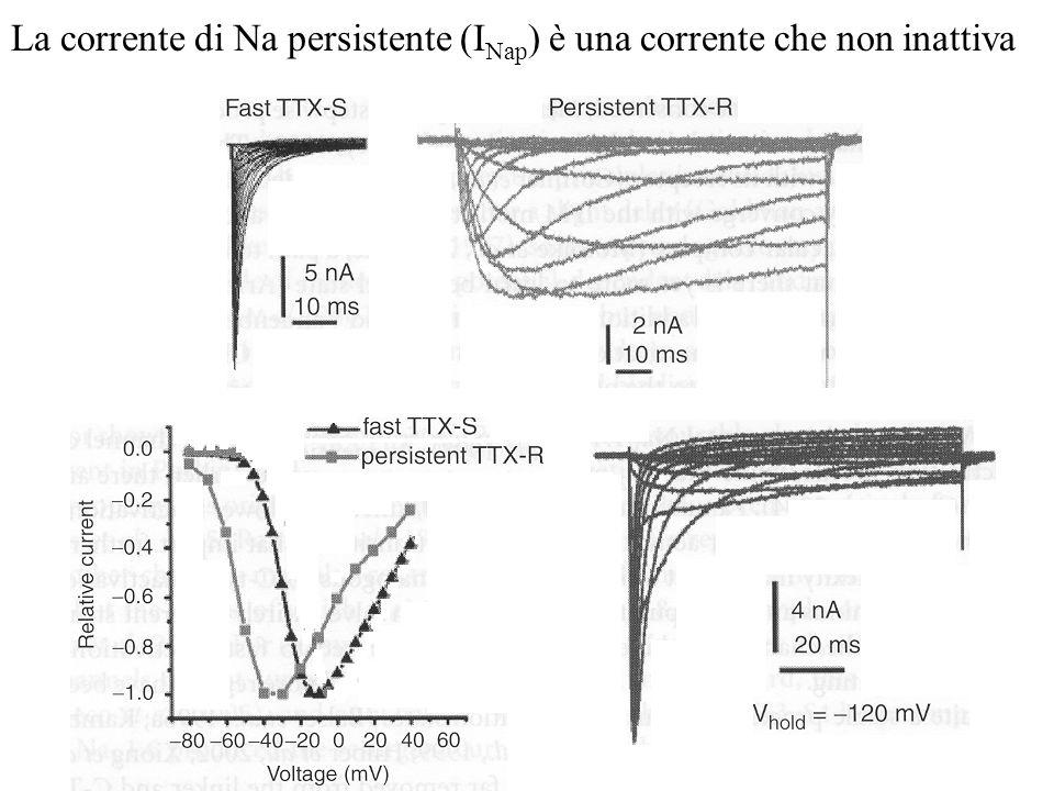 La corrente di Na persistente (I Nap ) è una corrente che non inattiva