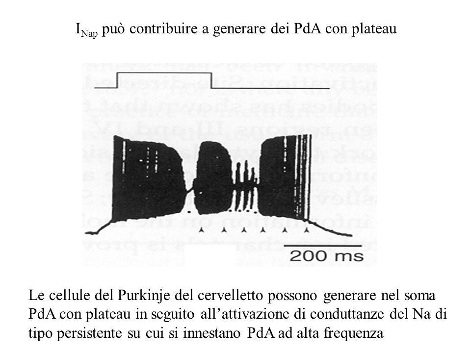 I Nap può contribuire a generare dei PdA con plateau Le cellule del Purkinje del cervelletto possono generare nel soma PdA con plateau in seguito allattivazione di conduttanze del Na di tipo persistente su cui si innestano PdA ad alta frequenza