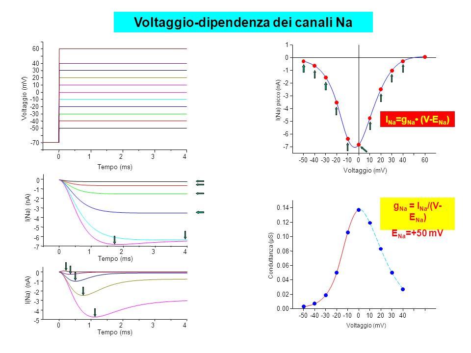 01234 -70 Voltaggio (mV) Tempo (ms) -50 -40 -30 -20 -10 0 10 20 30 40 60 01234 -7 -6 -5 -4 -3 -2 0 I(Na) (nA) Tempo (ms) -5 -4 -3 -2 0 I(Na) (nA) 01234 Tempo (ms) -50-40-30-20-1001020304060 -7 -6 -5 -4 -3 -2 0 1 I(Na) picco (nA) Voltaggio (mV) -50-40-30-20-10010203040 0.00 0.02 0.04 0.06 0.08 0.10 0.12 0.14 Voltaggio (mV) Conduttanza (μS) I Na =g Na (V-E Na ) g Na = I Na /(V- E Na ) E Na =+50 mV Voltaggio-dipendenza dei canali Na