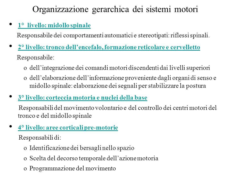 Organizzazione gerarchica dei sistemi motori 1° livello: midollo spinale Responsabile dei comportamenti automatici e stereotipati: riflessi spinali. 2