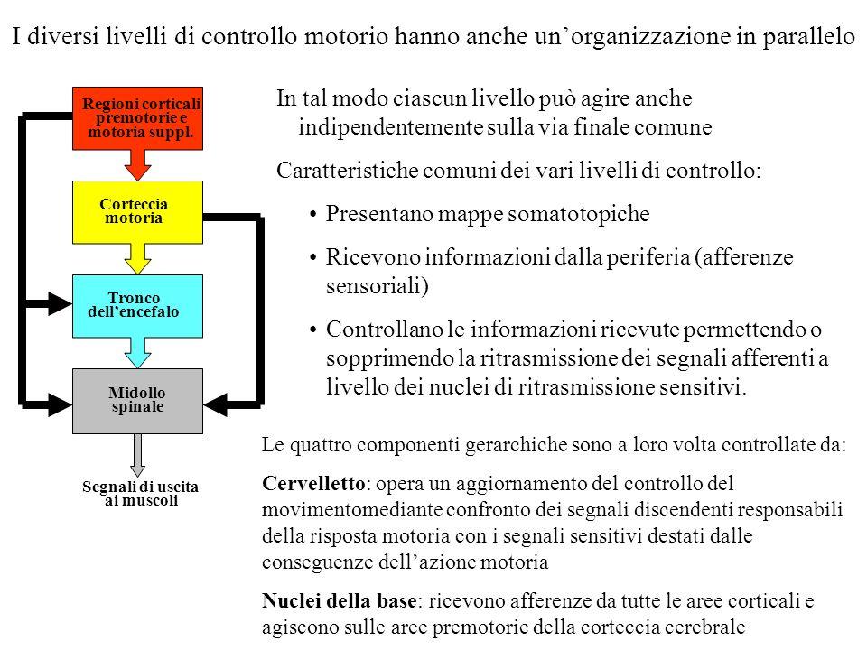 I diversi livelli di controllo motorio hanno anche unorganizzazione in parallelo Regioni corticali premotorie e motoria suppl. Corteccia motoria Tronc