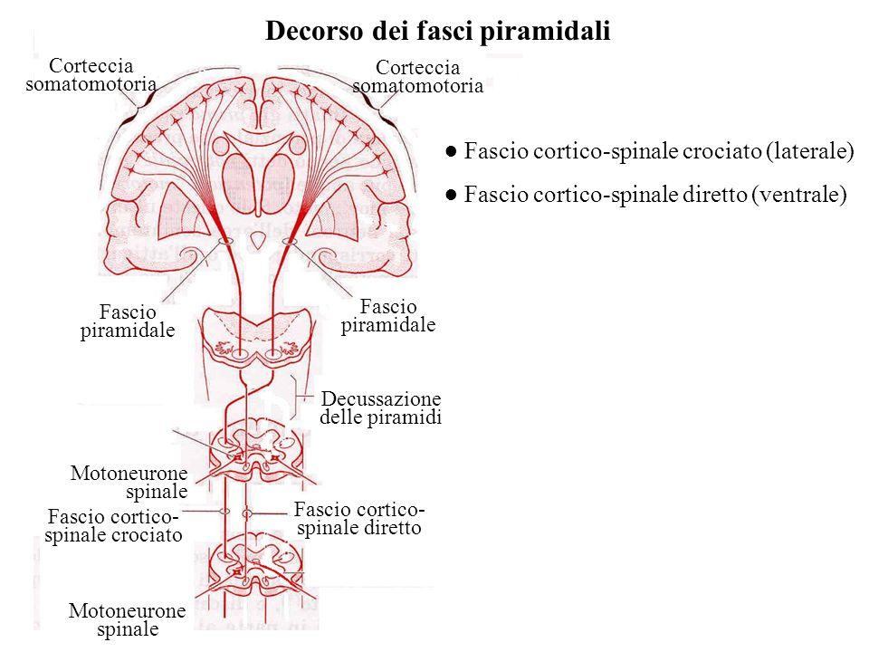 Corteccia somatomotoria Fascio piramidale Motoneurone spinale Decussazione delle piramidi Fascio cortico- spinale crociato Fascio cortico- spinale dir