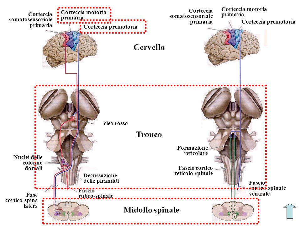 Cervello Tronco Midollo spinale Nucleo rosso Fascio cortico-spinale laterale Corteccia somatosensoriale primaria Nuclei delle colonne dorsali Decussaz
