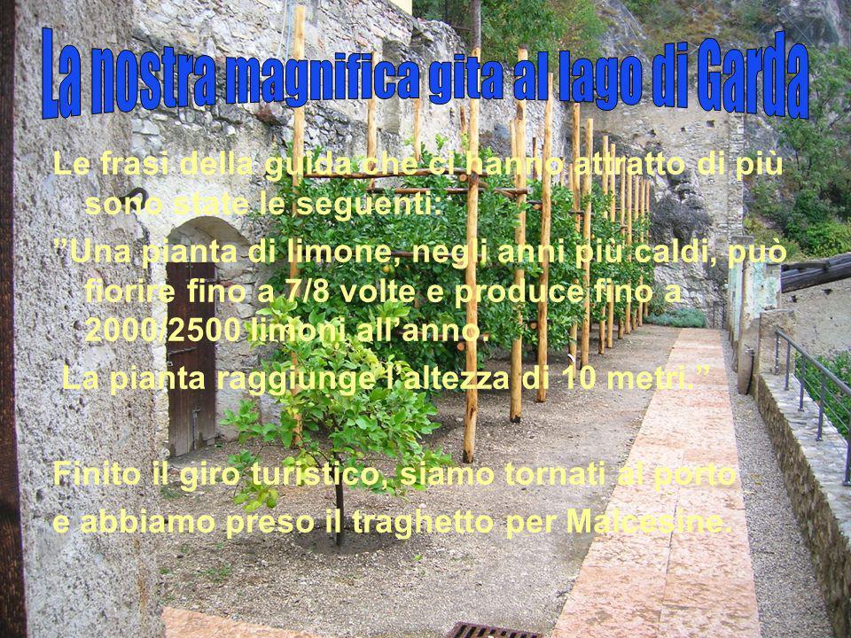 Le frasi della guida che ci hanno attratto di più sono state le seguenti: Una pianta di limone, negli anni più caldi, può fiorire fino a 7/8 volte e produce fino a 2000/2500 limoni all anno.