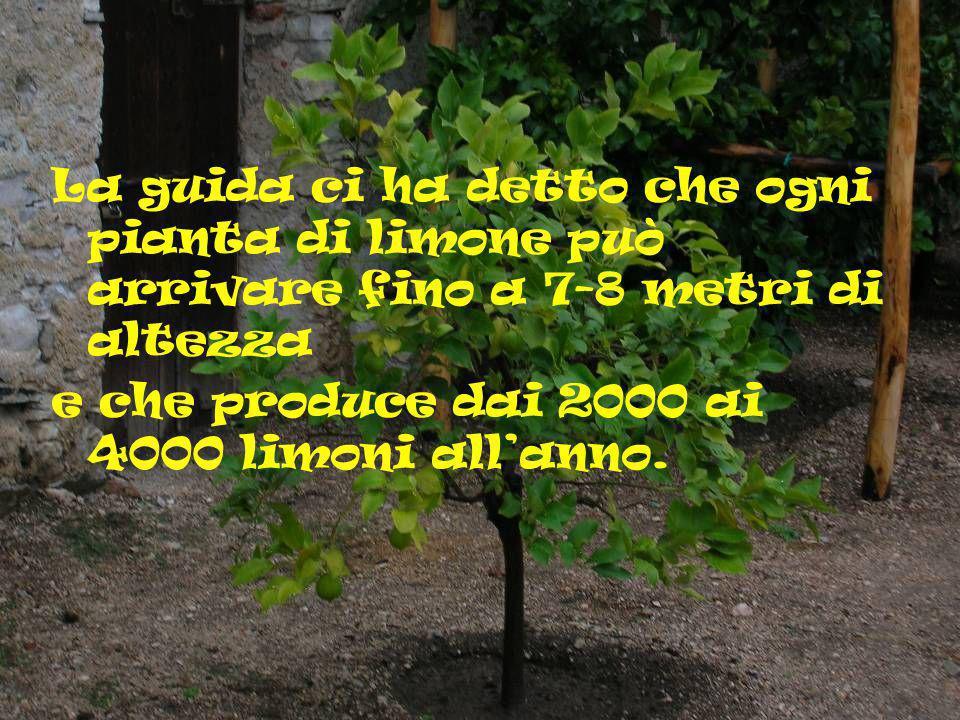 La guida ci ha detto che ogni pianta di limone può arrivare fino a 7-8 metri di altezza e che produce dai 2000 ai 4000 limoni all anno.
