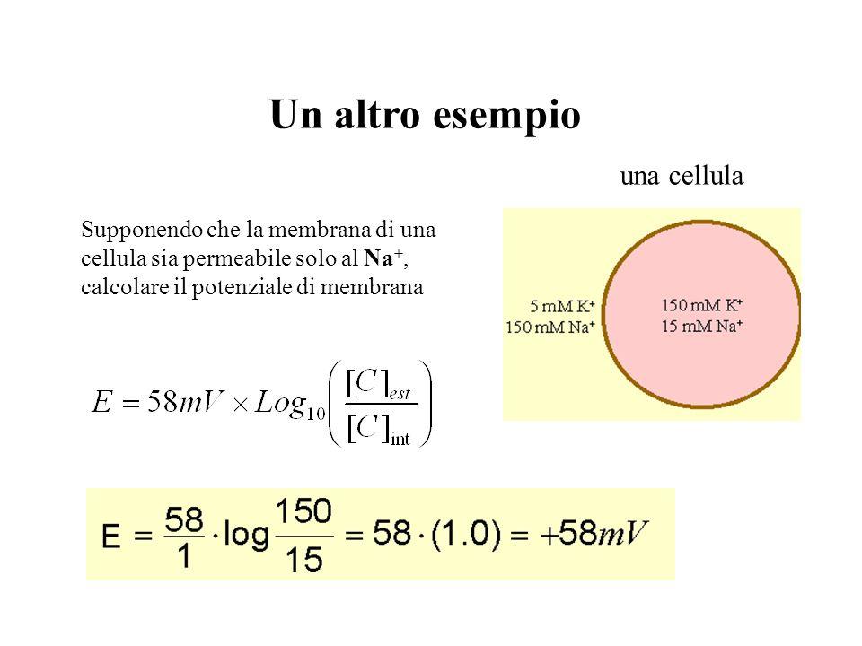 una cellula Un esempio pratico Supponendo che la membrana di una cellula sia permeabile solo al K +, calcolare il potenziale di membrana
