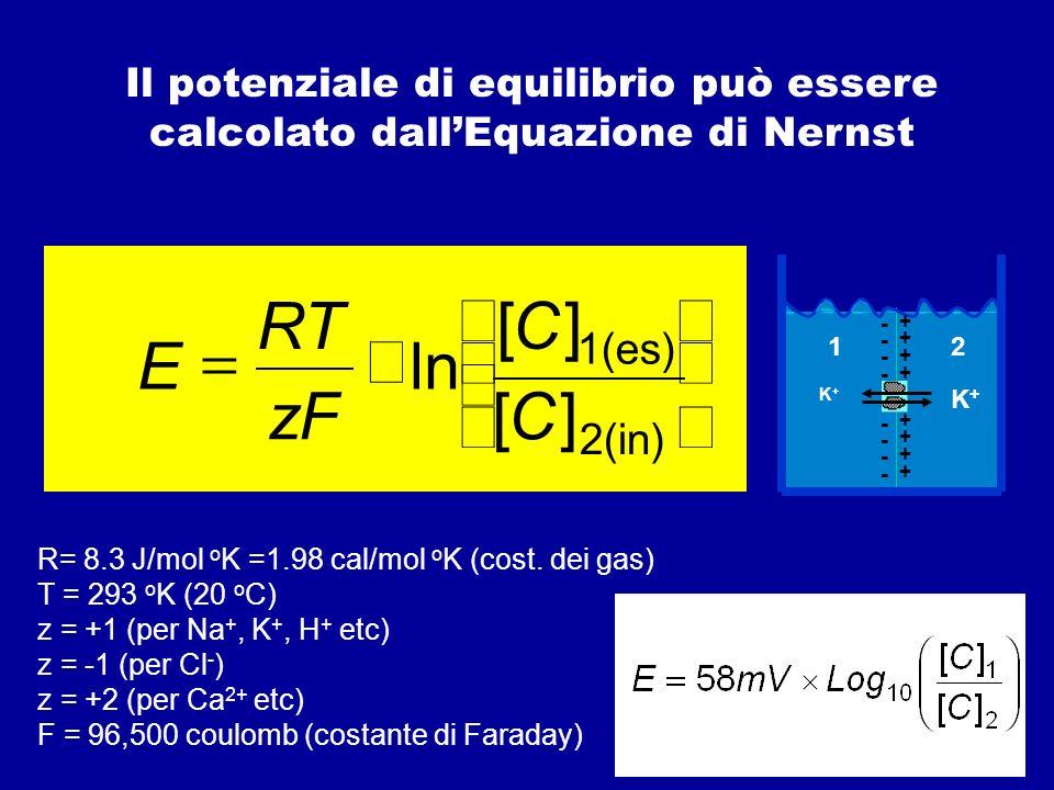 Pertanto, un canale e il gradiente di concentrazione dello ione permeante che lo attraversa possono essere rappresentati da un punto di vista elettrico come costituiti rispettivamente da un resistore e da una batteria in serie Se sulla membrana esistono più canali ciascuno selettivo per un certo ione, il circuito elettrico equivalente sarà del tipo: esterno interno Na + K+K+ Cl - E Na g Na gKgK g Cl EKEK E Cl