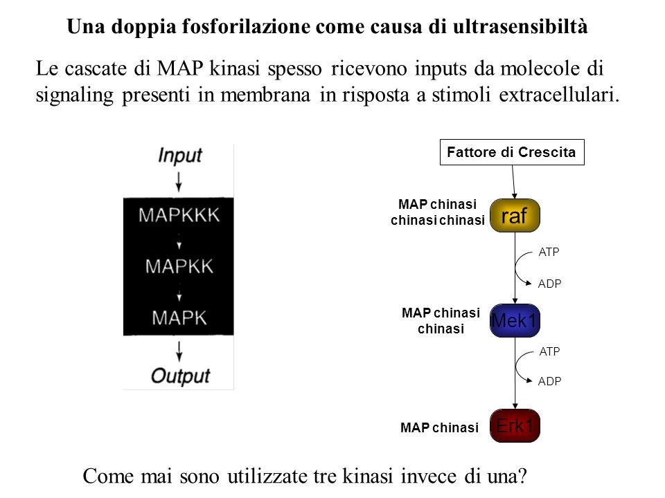 Una doppia fosforilazione come causa di ultrasensibiltà Le cascate di MAP kinasi spesso ricevono inputs da molecole di signaling presenti in membrana