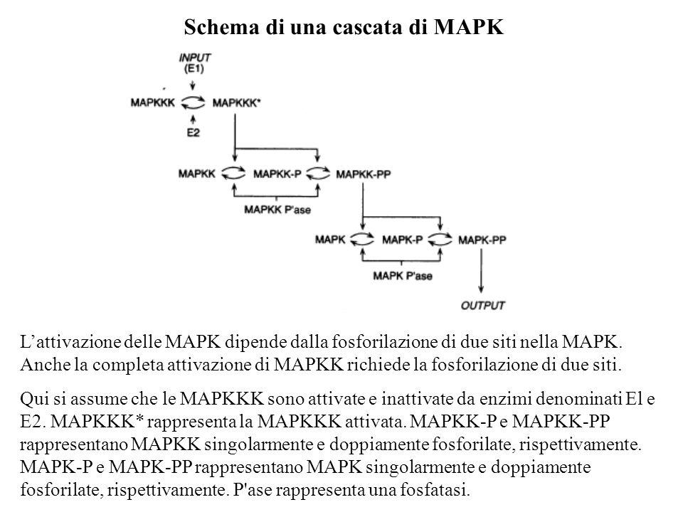 Lattivazione delle MAPK dipende dalla fosforilazione di due siti nella MAPK. Anche la completa attivazione di MAPKK richiede la fosforilazione di due