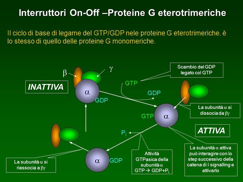 Interruttori On-Off –Proteine G eterotrimeriche Il ciclo di base di legame del GTP/GDP nele proteine G eterotrimeriche. è lo stesso di quello delle pr