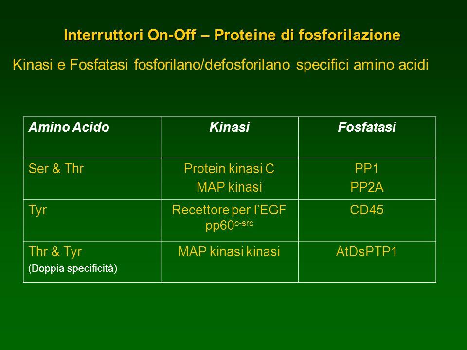 Interruttori On-Off – Proteine di fosforilazione Kinasi e Fosfatasi fosforilano/defosforilano specifici amino acidi Amino AcidoKinasiFosfatasi Ser & T