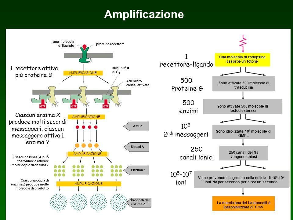 Amplificazione 1 recettore attiva più proteine G Ciascun enzima X produce molti secondi messaggeri, ciascun messaggero attiva 1 enzima Y AMPLIFICAZION