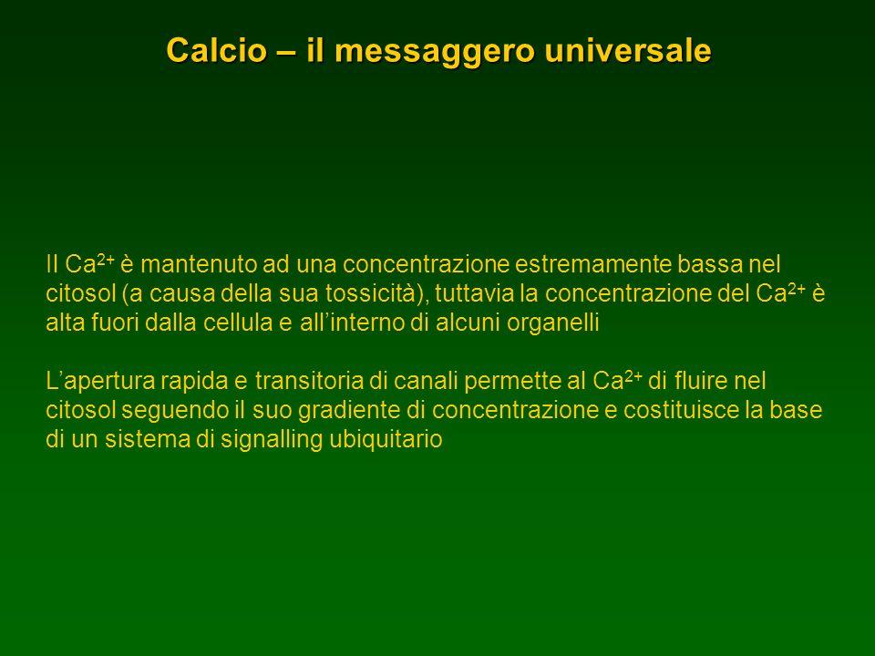 Calcio – il messaggero universale Il Ca 2+ è mantenuto ad una concentrazione estremamente bassa nel citosol (a causa della sua tossicità), tuttavia la
