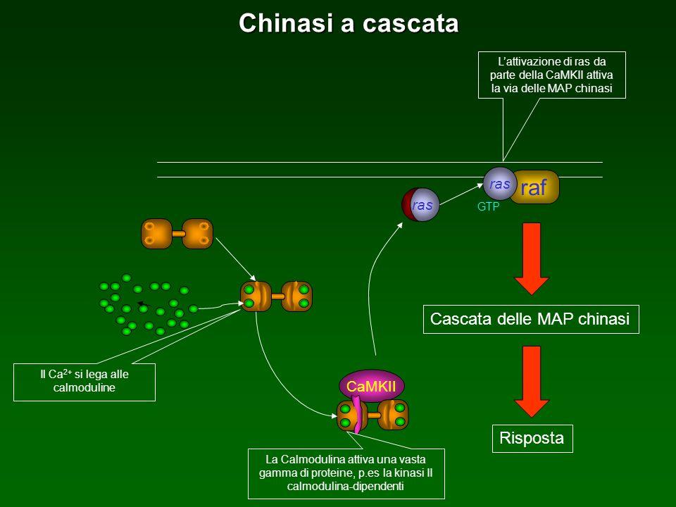 ras raf ras GTP Risposta Cascata delle MAP chinasi Lattivazione di ras da parte della CaMKII attiva la via delle MAP chinasi Chinasi a cascata CaMKII