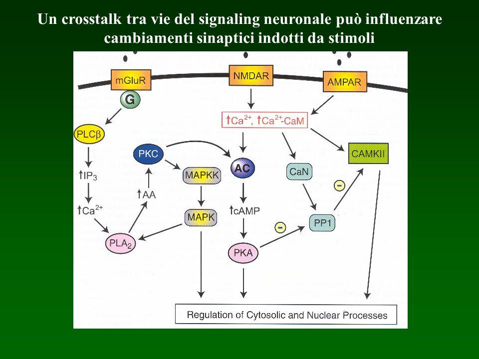Un crosstalk tra vie del signaling neuronale può influenzare cambiamenti sinaptici indotti da stimoli