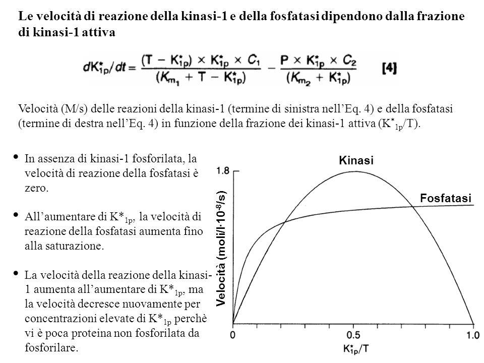 In assenza di kinasi-1 fosforilata, la velocità di reazione della fosfatasi è zero. Allaumentare di K* 1p, la velocità di reazione della fosfatasi aum