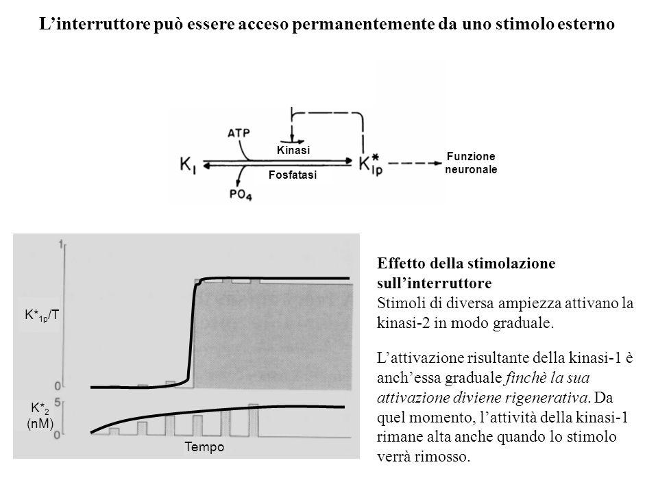 Effetto della stimolazione sullinterruttore Stimoli di diversa ampiezza attivano la kinasi-2 in modo graduale. Linterruttore può essere acceso permane