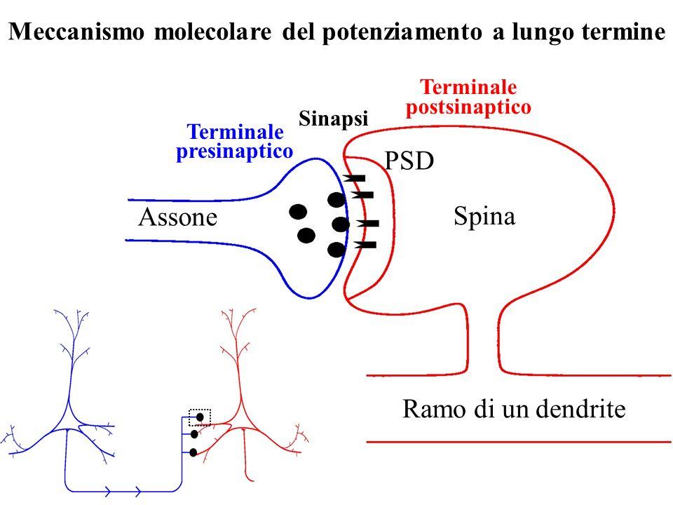 Meccanismo molecolare del potenziamento a lungo termine Spina Ramo di un dendrite Assone Terminale presinaptico Terminale postsinaptico Sinapsi PSD