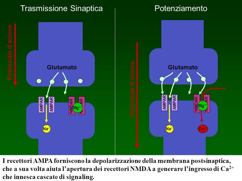Trasmissione Sinaptica AMPAR Potenziale dazione Glutamato Potenziamento Glutamato AMPAR NMDAR Na + Ca ++ Mg ++ NMDAR Mg ++ I recettori AMPA forniscono
