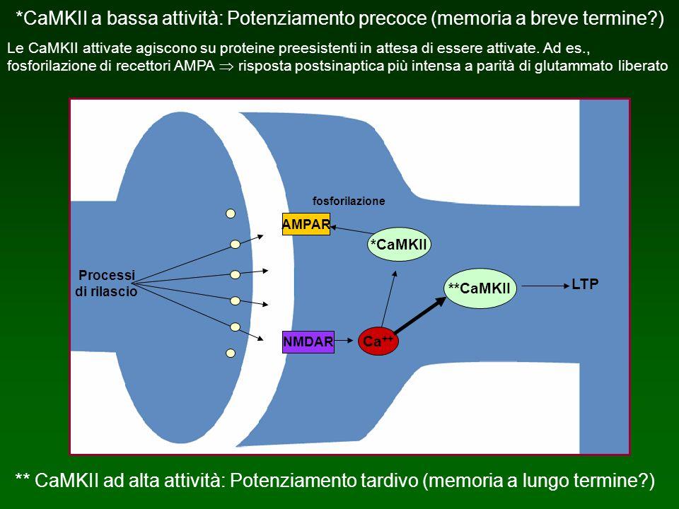 *CaMKII a bassa attività: Potenziamento precoce (memoria a breve termine?) Le CaMKII attivate agiscono su proteine preesistenti in attesa di essere at