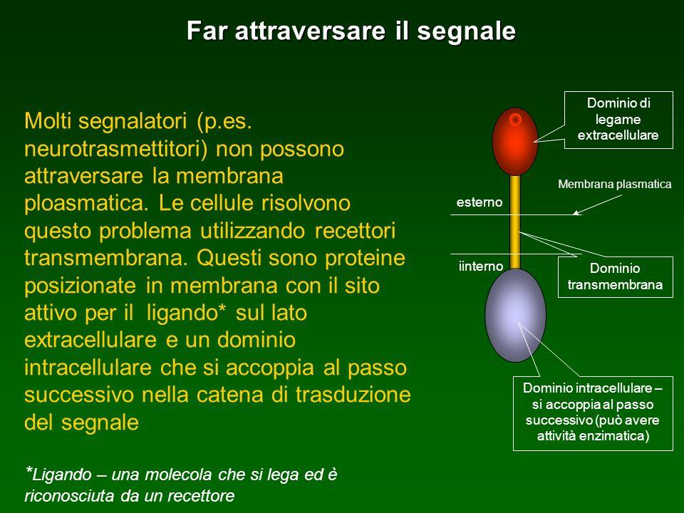 Far attraversare il segnale Molti segnalatori (p.es. neurotrasmettitori) non possono attraversare la membrana ploasmatica. Le cellule risolvono questo