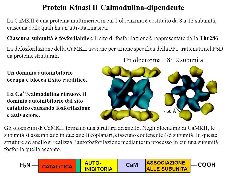 La CaMKII è una proteina multimerica in cui loloenzima è costituito da 8 a 12 subunità, ciascuna delle quali ha unattività kinasica. Ciascuna subunità