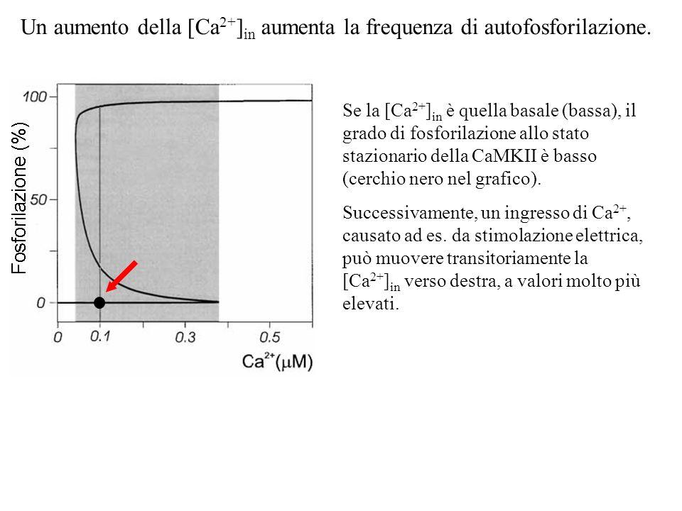 Un aumento della [Ca 2+ ] in aumenta la frequenza di autofosforilazione. Se la [Ca 2+ ] in è quella basale (bassa), il grado di fosforilazione allo st
