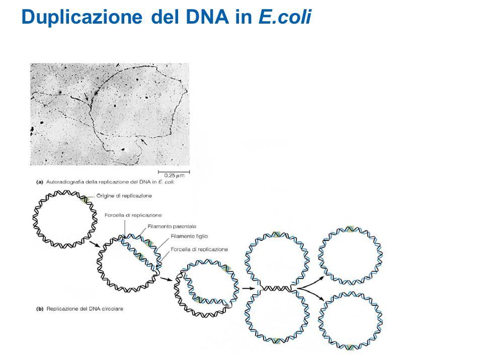 Duplicazione del DNA in E.coli