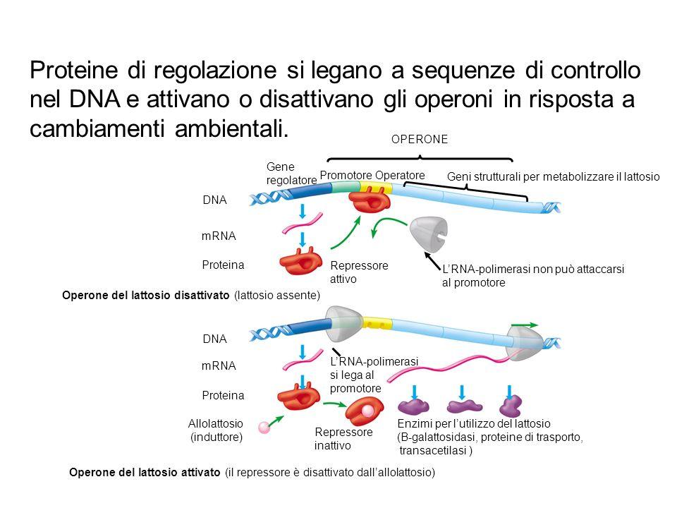 DNA mRNA DNA Proteina mRNA Proteina Allolattosio (induttore) Promotore Operatore Geni strutturali per metabolizzare il lattosio Repressore attivo LRNA