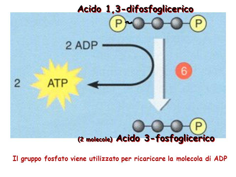 Nella tappa 5 entrano 2 molecole di gliceraldeide 3-fosfato, per cui le tappe da 5 a 9 sono ripetute 2 volte per ogni molecola di glucosio La molecola