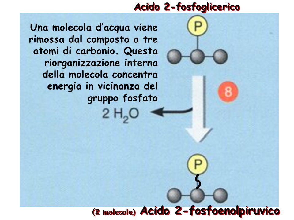 Acido 3-fosfoglicerico (2 molecole) Acido 2-fosfoglicerico Il gruppo fosfato viene trasferito enzimaticamente dalla posizione 3 alla posizione 2
