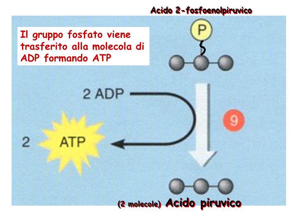 (2 molecole) Acido 2-fosfoenolpiruvico Acido 2-fosfoglicerico Una molecola dacqua viene rimossa dal composto a tre atomi di carbonio. Questa riorganiz