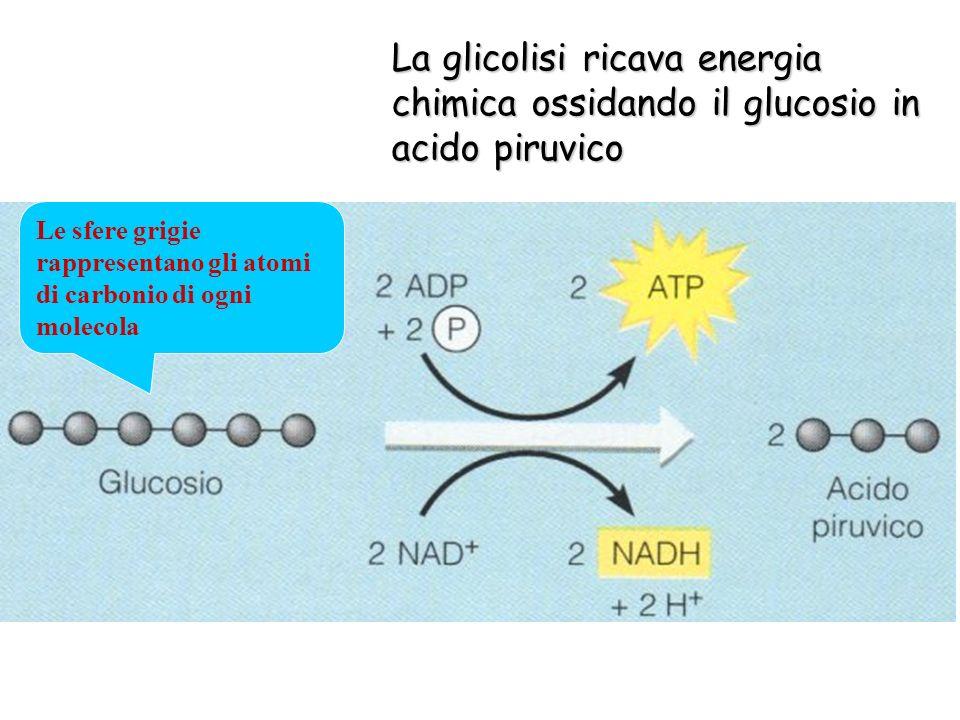 La glicolisi ricava energia chimica ossidando il glucosio in acido piruvico Le sfere grigie rappresentano gli atomi di carbonio di ogni molecola
