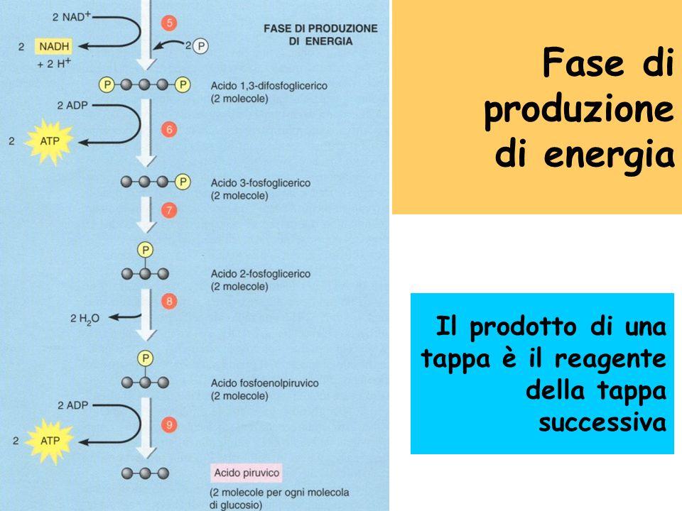 Fase di preparazione con consumo di energia In ogni fase sono indispensabili gli enzimi specifici per catalizzare le reazioni chimiche. Nello schema n
