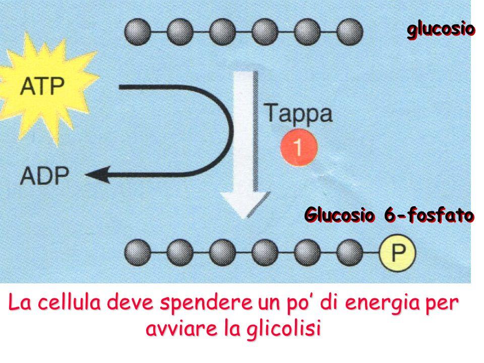 Il prodotto di una tappa è il reagente della tappa successiva Fase di produzione di energia