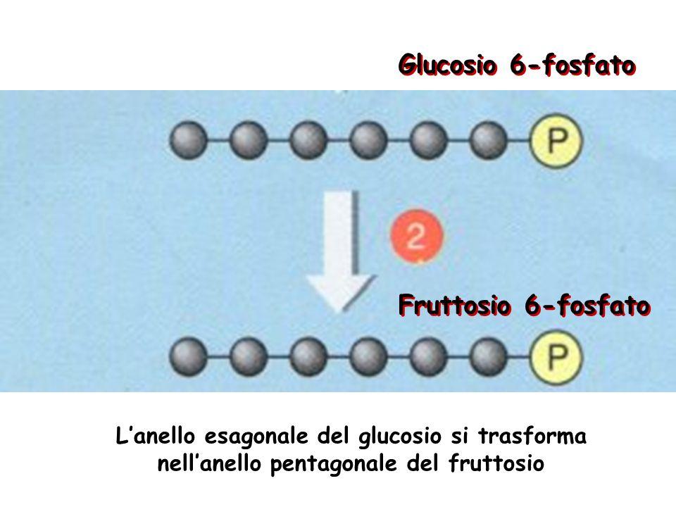 La cellula deve spendere un po di energia per avviare la glicolisi glucosio Glucosio 6-fosfato