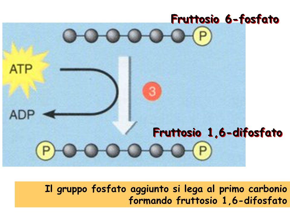 Fruttosio 6-fosfato Fruttosio 1,6-difosfato Il gruppo fosfato aggiunto si lega al primo carbonio formando fruttosio 1,6-difosfato
