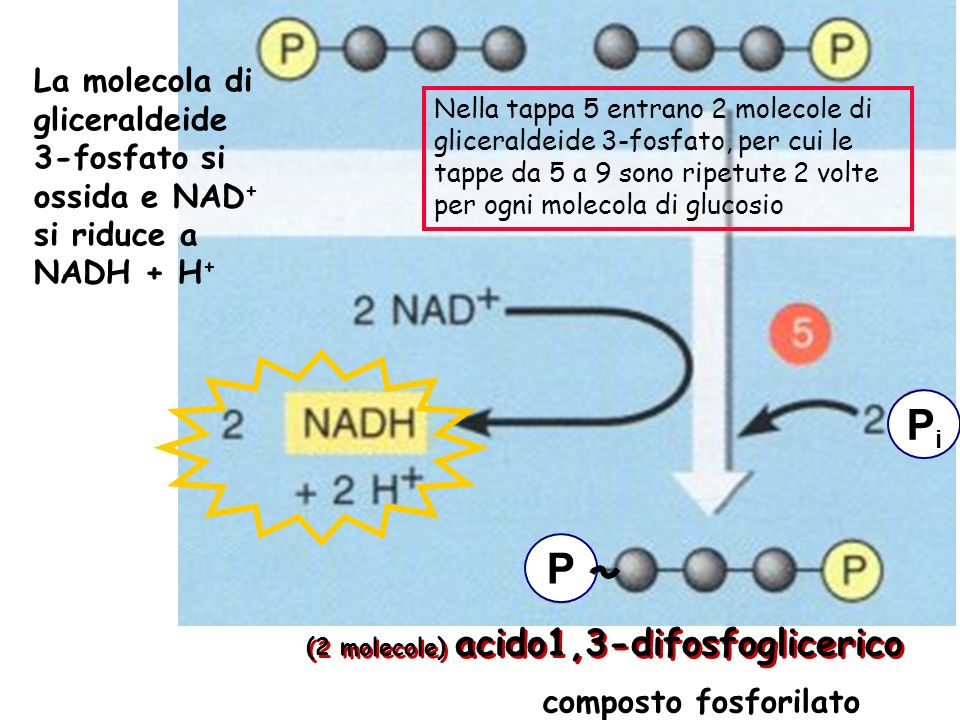 Nella tappa 5 entrano 2 molecole di gliceraldeide 3-fosfato, per cui le tappe da 5 a 9 sono ripetute 2 volte per ogni molecola di glucosio La molecola di gliceraldeide 3-fosfato si ossida e NAD + si riduce a NADH + H + (2 molecole) acido1,3-difosfoglicerico PiPi composto fosforilato P