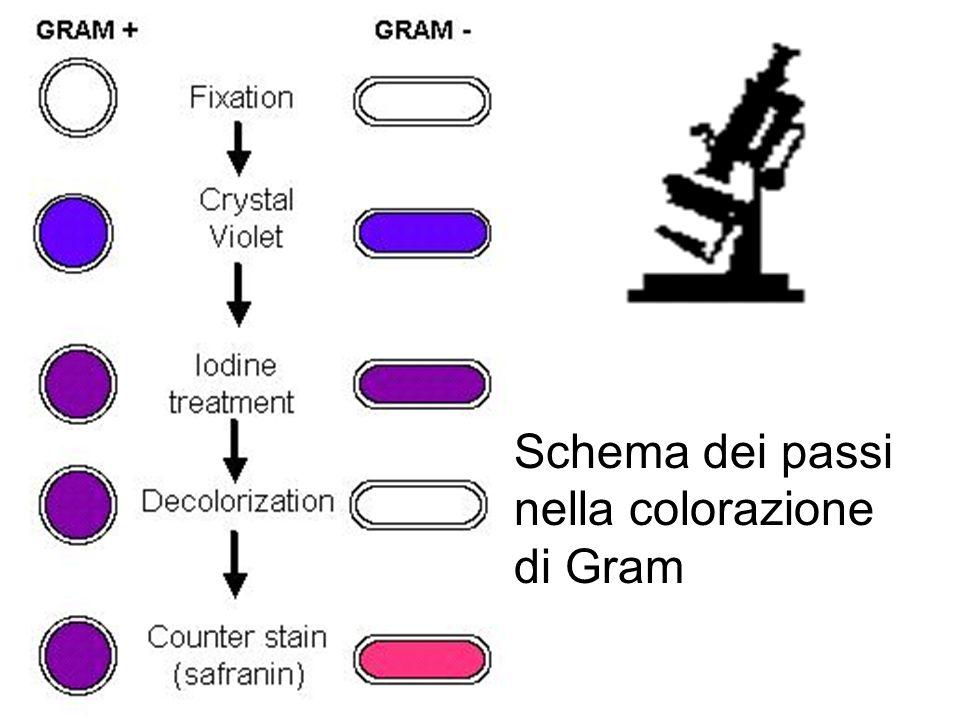 Schema dei passi nella colorazione di Gram