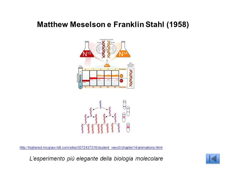 Matthew Meselson e Franklin Stahl (1958) Lesperimento più elegante della biologia molecolare http://highered.mcgraw-hill.com/sites/0072437316/student_view0/chapter14/animations.html