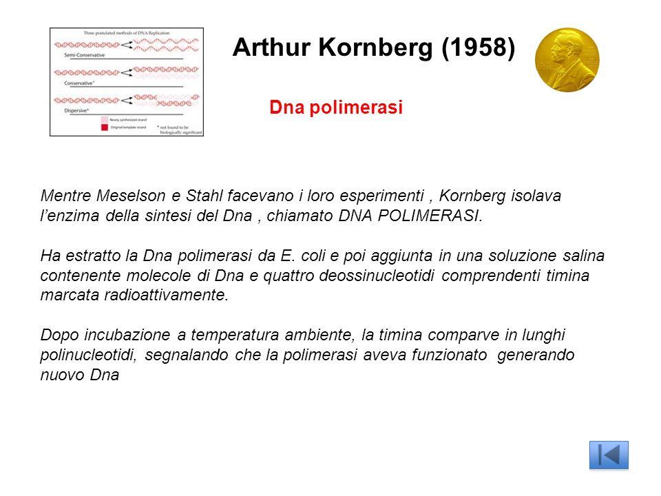 Arthur Kornberg (1958) Dna polimerasi Mentre Meselson e Stahl facevano i loro esperimenti, Kornberg isolava lenzima della sintesi del Dna, chiamato DNA POLIMERASI.