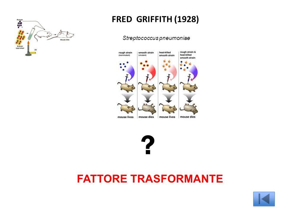 FRED GRIFFITH (1928) Streptococcus pneumoniae FATTORE TRASFORMANTE