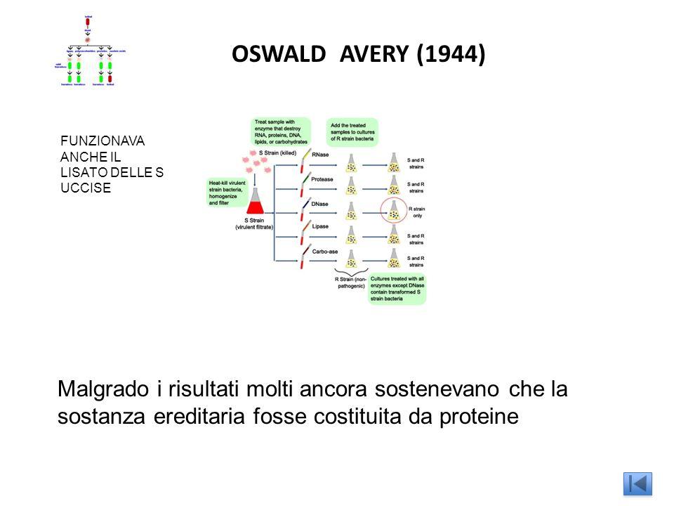 OSWALD AVERY (1944) Malgrado i risultati molti ancora sostenevano che la sostanza ereditaria fosse costituita da proteine FUNZIONAVA ANCHE IL LISATO DELLE S UCCISE