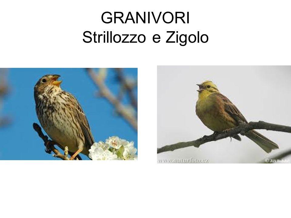 GRANIVORI Strillozzo e Zigolo