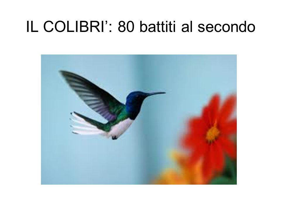 IL COLIBRI: 80 battiti al secondo