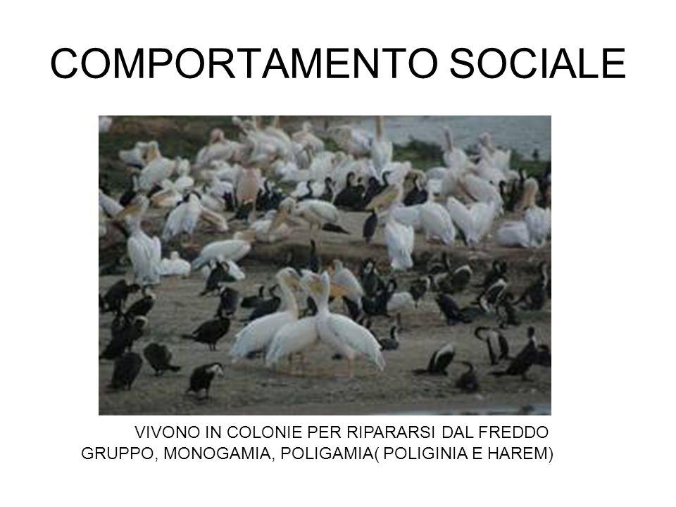 COMPORTAMENTO SOCIALE VIVONO IN COLONIE PER RIPARARSI DAL FREDDO GRUPPO, MONOGAMIA, POLIGAMIA( POLIGINIA E HAREM)